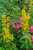 Lysimachia punctata and roses in bloom in a garden
