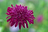 Scabiosa Crimson Cushion