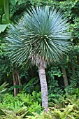 Yucca rostrata as tree in a garden