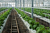 Pickles cultivation in hydroponics room. Lufa Farms. Montreal. Province of Quebec. Canada