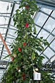 Jalapeno chili peppers in culture in hydroponics room. Lufa Farms. Montreal. Province of Quebec. Canada
