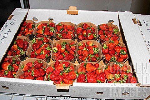 Strawberries_prepared_for_sale_to_individuals_Lufa_Farms_Montreal_Province_of_Quebec_Canada