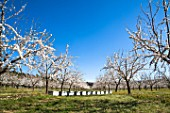 Almond trees in bloom and hives in Venasque - Provence - France
