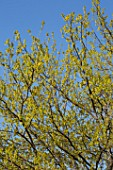 Quercus humilis branches in Spring, France