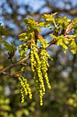 Quercus humilis catkins in Spring, France