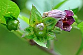 BAtropa belladonna flower and fruit before maturity, toxic to humans , medieval garden, Ferrette , Alsace, France