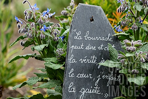 Borago_officinalis_and_French_quote_on_slate_in_medieval_garden__SaintValerysurSomme__Picardy_France