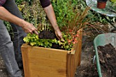 Preparation and planting in a wooden container