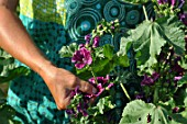 Picking of Malva (mallow) flowers in a garden