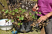 Cleaning of a pelargonium in a pot in the end of winter