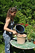 Planting of pelargoniums in a pot