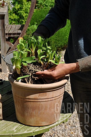 Planting_of_Agapanthus_campanulatus_in_a_pot