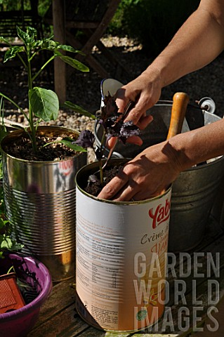 Planting_of_aromatic_plants_in_a_repurposed_tin_can