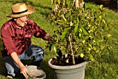 Caring and feeding of a lemon tree in a pot