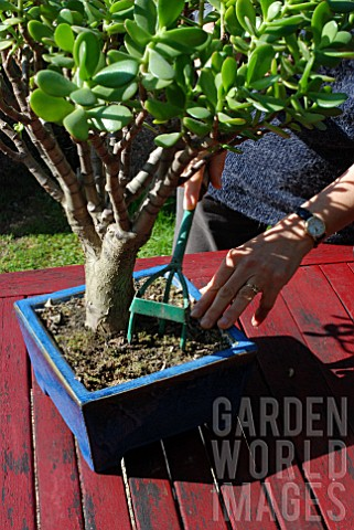 Refreshing_soil_of_potted_Bonsai_tree