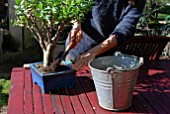 Refreshing soil of potted Bonsai tree