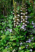 Acanthus mollis and Campanula walls