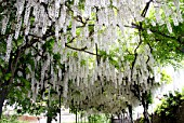 Pergola of white Wisteria