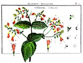 Botanical board drawing of Collinsonia