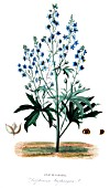 Botanical board drawing of Delphinium staphisagria