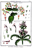 Botanical board drawing of Collinsonia and Morina