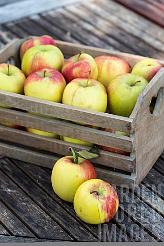 Apple_Delbar_harvest_in_a_garden