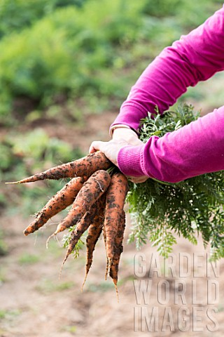 Harvest_of_carrots_in_a_kitchen_garden