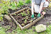 Planting of strawberry plants in a square garden