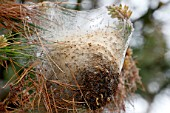 Nest of Pine processionary moth (Thaumetopoea pityocampa)