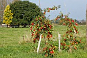 cider apple trees (Malus domestica)