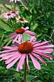 Echinacea purpurea in bloom with green butterfly