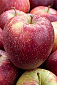 Malus domestica Red Delicious (Apple)