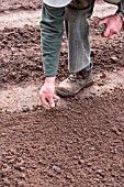 Sowing of Leek Monstrueux de Carentan in a kitchen garden