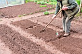 Sowing of Carrot Kuroda in a kitchen garden
