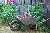 Old wooden wheelbarrow in a garden, Alcea and old wooden hut, countryside, Dordogne, France.