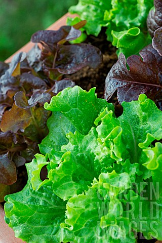 Red_and_blonde_oak_leaf_Lettuce_Lactuca_quercina_Provence_France