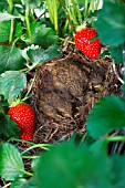 Chicks in nest with Stawberries, Kitchen garden, Provence, France