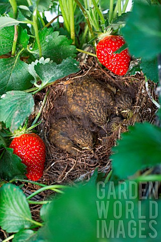 Chicks_in_nest_with_Stawberries_Kitchen_garden_Provence_France