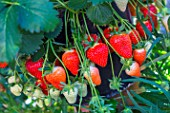 Strawberry Dely, Kitchen garden, Provence, France