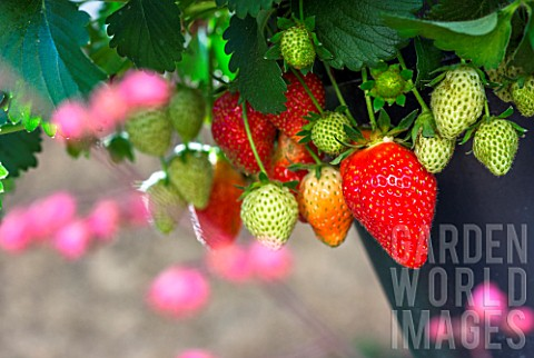 Strawberries_Kitchen_garden_Provence_France