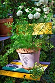 Foeniculum officinalis (Fennel) in pot, Provence, France