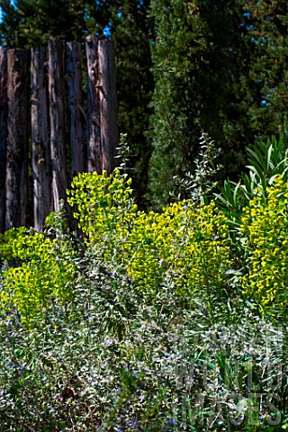 Euphorbia_characias_and_Teucrium_fruticans_in_April_Provence_France
