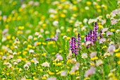 Lawn and alpine wild flower meadow