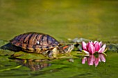 Trachemys scripta elegans (Red-eared terrapin) on Water Lily, France