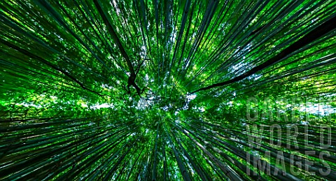 Bamboo_forest_in_Kyoto_Japan