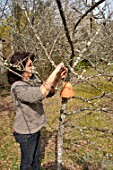 Woman putting inverted flowerpot on a tree filled with straw to attract earwigs