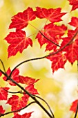 Acer rubrum (Red Maple) leaves in autumn, Saguenay, Quebec, Canada