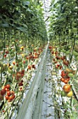 Tomato culture under greenhouse France  -  -  -
