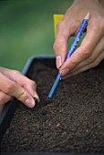 Sowing in seed in tray using a pencil as a dibber