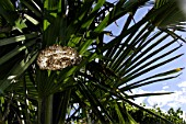 Wasps nest in palm tree in garden,August, Provence, France